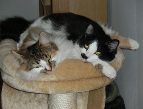 De opvang van asielkatten en kittens bij gastgezinnen